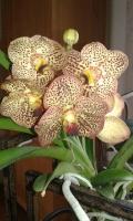 Liliorchidée