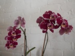 Orchidee65