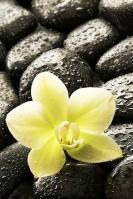 Orchidelphe