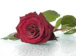 ملكة الورود