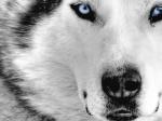 SILVERwolf06