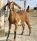 Rare Goat