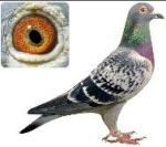 pigeon_maroc