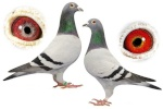 mahmoud-pigeon