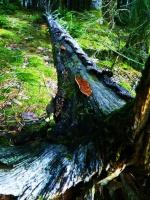 Wild Timber