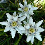 Greteledelweiss