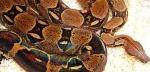 snakecyril