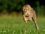Cheetah_Mang