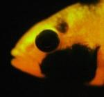 Les poissons 1016-81