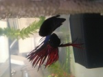 Rsylvain_Betta