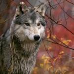 akira wolf