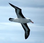 french.albatros