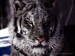 Tigreoscuro