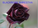 blackroseshrestha