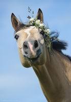 Konji su zakon