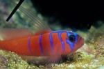 Electricgoby