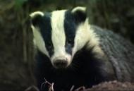 Frisky Badger