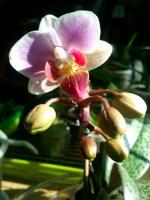 Lilou l'orchidée...