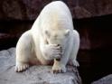 Polarber