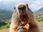 marmotte affamée