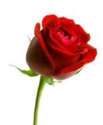 Rose123