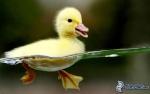 P'tit canard
