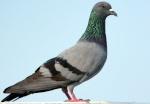 bibi-lover-pigeon