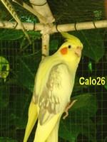 calo26