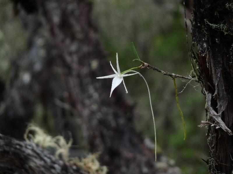 Angraecum cornigerum 137110