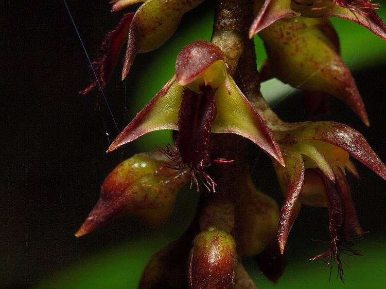 Bulbophyllum incurvum Bulbop13