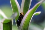 Dendrobatidae 178-19
