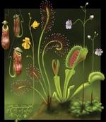 Les Sarracenias et derivés du genre 1489-99
