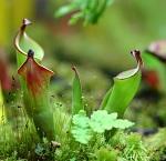 Autres plantes carnivores 970-46