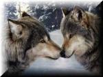 DM Wolf