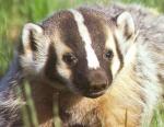 BadgerBorn