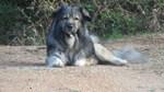 Le Dogue du Tibet 16-54