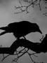 Blackbird_o
