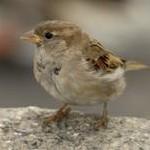ptikuik