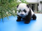 Complejo de Panda