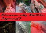 reptiles-pogonas57