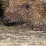 Snufflehog