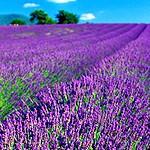 LavenderScented