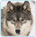 Wolf-san