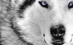 Wolfout