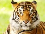 Tigerhallam
