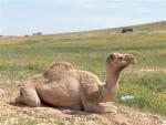 الشافعي الصحراوي