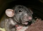 Lo'rat