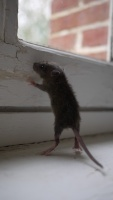 rat.vage