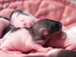 ratcoleuse