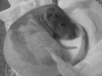 rat'tafia